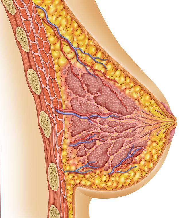 La anatomía de la mama - beyou