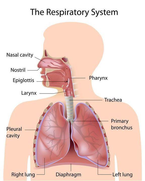 Doc preview sistema respiratorio