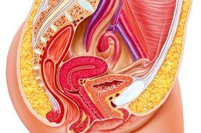 Tip list sistema reproductor femenino